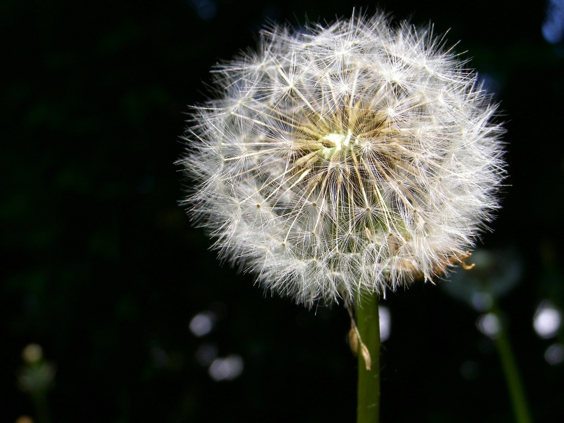 White-Dandelion